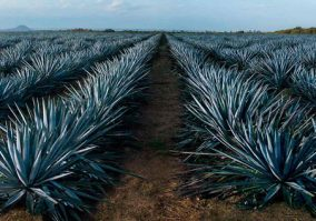 Tequila | Piantagione Agave Azul