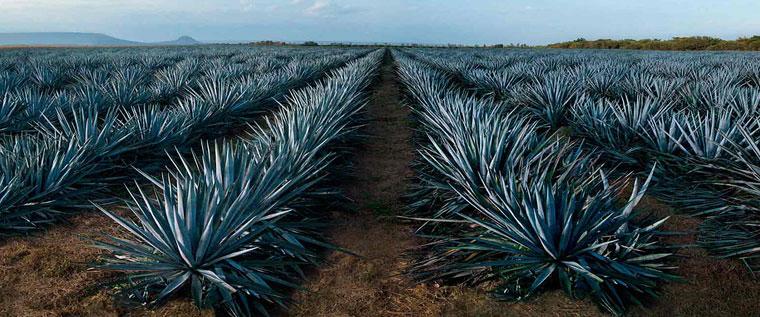 Tequila | Piantagione Agave Azul